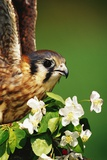 American Kestrel on a Crab Apple Bloom Photographic Print by Darrell Gulin