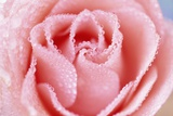 Wet Rose Photographic Print by Craig Tuttle