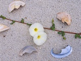 Morning Glory Among Seashells Photographic Print by James Randklev