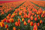 Field of Variegated Tulips Near Keukenhof Gardens in the Netherlands Photographic Print by Darrell Gulin