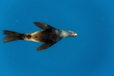 Southern Sea Lion in Diego Ramirez Islands, Chile Photographic Print by Paul Souders