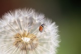 Ladybug on Dandelion Photographic Print by Craig Tuttle
