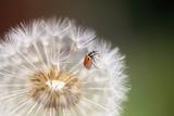 Ladybug on Dandelion Photographic Print by Craig Tuttle