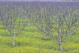 Almond Grove and Wild Mustard Plants Photographic Print by Darrell Gulin