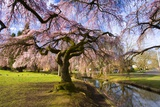 Blooming Cherry Trees by Creek Photographic Print by Craig Tuttle