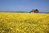 Spring Musterd Field, Willamitte Valley, Oregon Photographic Print by Craig Tuttle