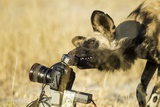 Wild Dog and Remote Camera, Moremi Game Reserve, Botswana Photographic Print by Paul Souders