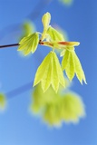 Leaves Drooping on Branch Photographic Print by Craig Tuttle