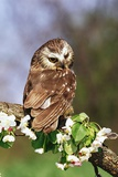 Saw-Whet Owl on Crab Apple Bloom Photographic Print by Darrell Gulin