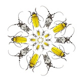 Circular Beetle Design with Horned Beetles Celosterna Pollinosa and Aristobia Voeti Photographic Print by Darrell Gulin