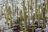Saguaro Cacti in Snow Photographic Print by James Randklev
