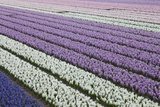Rows of Colorful Hyacinths Grown as Crop in Lisse, Netherlands (Holland) Photographic Print by Darrell Gulin