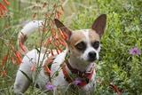 Chihuahua Dog Photographic Print by James Randklev