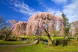 Footbridge Between Cherry Trees in Bloom Photographic Print by Craig Tuttle