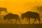 Wildebeest Sunrise and Dust in Amoseli N.P., Kenya Africa Photographic Print by Darrell Gulin