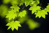 Vine Maple Leaves Photographic Print by Darrell Gulin