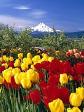 Blooming Tulips and Mount Hood Photographic Print by Craig Tuttle