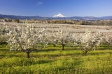 Hood River Valley and Spring Blossoms with Mt. Hood. Oregon Photographic Print by Craig Tuttle