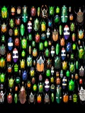 Beetle Lay Out on Black Back Ground in Multi Colors and Shapes Photographic Print by Darrell Gulin