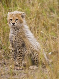Baby Cheetah in the Masai Mara Reserve of Kenya Africa Photographic Print by Darrell Gulin