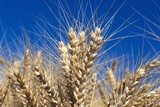 Wheat Crop Growing in Field Photographic Print by Craig Tuttle