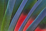 Fanned Out Tail Feathers of Blue Headed Pionus (Parrot) Stampa fotografica di Gulin, Darrell