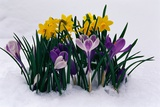 Crocuses and Daffodils in Snow Photographic Print by Darrell Gulin