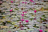 Water Lilies Photographic Print by Ron Dahlquist