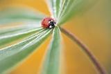 Ladybug Crawling Photographic Print by Craig Tuttle