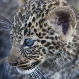 Baby Blue Eyed Leopard Masai Mara, Kenya Africa Photographic Print by Darrell Gulin