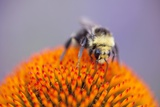 Bee on Flower Photographic Print by Craig Tuttle