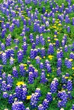 Bluebonnets and Flax Photographic Print by Darrell Gulin