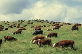 Hereford Cattle Grazing on Hill Photographic Print by James Randklev