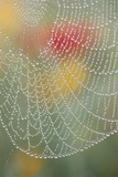 Spider Web Bathed in Drops of Dew Photographic Print by Craig Tuttle