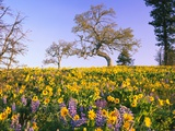 Field of Lupines and Sunflowers Photographic Print by Craig Tuttle