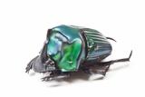 Scarabidae Beetle from Peru Oxysternus Selenium Photographic Print by Darrell Gulin