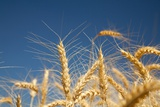Wheat Field Photographic Print by Craig Tuttle