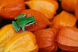 Pacific Tree Frog on Chinese Lantern Flowers Photographic Print by Darrell Gulin