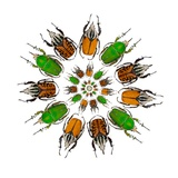 Cicular Design of African Male Beetles Mecynorrhina Family Photographic Print by Darrell Gulin