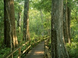 Boardwalk Through Forest of Bald Cypress Trees in Corkscrew Swamp Photographic Print by James Randklev
