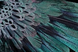 Superb Bird of Paradise Feather Design as They Radiate Outwards Reproduction photographique par Darrell Gulin