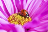 Close-Up of a Lady Bug on Flower Photographic Print by Craig Tuttle