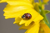 Ladybug on a Flower Photographic Print by Craig Tuttle
