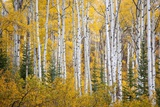 Colorful Aspen Trees. Thorpe Mountain, Colorado Reproduction photographique par Ron Dahlquist