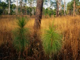 Pine Trees in Tall Grass Photographic Print by James Randklev