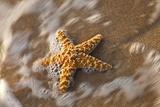Starfish on the Sandy Beachs of Keihi, Maui Hawaii in the Evening Light Photographic Print by Darrell Gulin