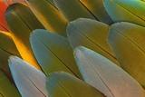 Close-Up of Parrot Feathers Stampa fotografica di Gulin, Darrell