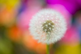 Dandelion Seed Head Photographic Print by Craig Tuttle