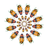 Jewel Beetle Metaxymorpha Nigrofasicata Photographic Print by Darrell Gulin