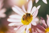 Bee Hovering at Flower Photographic Print by Craig Tuttle